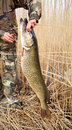 Large pike trophy of a in hands of the fisherman Royalty Free Stock Photo