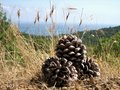 Large pine cones under the southern sun on dry grass on a background of dense forests, blue sea and blue sky