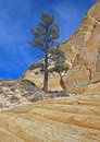 Large pine a ponderosa tree growing in a rocky desert area Stock Photography