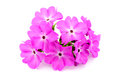 A large pink flowered primrose Royalty Free Stock Photography