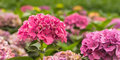 Large pink Hydrangea flowers in a Dutch nursery Royalty Free Stock Photo