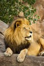 A large powerful lion rests on tall boulder at sunset male sits photographed local zoo Royalty Free Stock Photo
