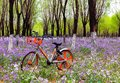 stock image of  Large purple flowers in the woods, orange bicycles, country parks warm atmosphere