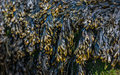 Large quantities bladderwrack fucus vesiculosus seaweed large rock visible low tide Royalty Free Stock Images