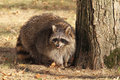 Large raccoon standing next to a tree Royalty Free Stock Photography