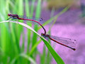 Large Red Damselfly (Pyrrhosoma nymphula) Stock Photography