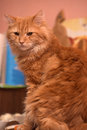 Large red fluffy housecat portrait Royalty Free Stock Photo