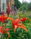 A large red lily flower is in the garden near the house. Royalty Free Stock Photo