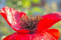 Large red poppy bud Royalty Free Stock Photo