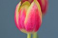 Large red tulip flower in bloom Royalty Free Stock Photo