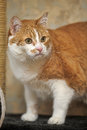 A large red and white cat portrait Stock Photos