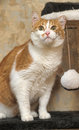 A large red and white cat portrait Stock Images