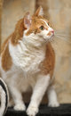 A large red and white cat portrait Royalty Free Stock Photography