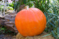 Large ripe pumpkin Stock Photography