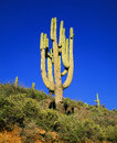 Large Saguaro Stock Photography