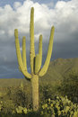 Large saguaro cactus a Stock Photography