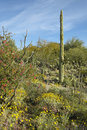 Large saguaro cactus and desert bloom Royalty Free Stock Photos