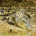 Large saltwater crocodile in kakadu national park australia Royalty Free Stock Photos
