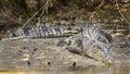 Large saltwater crocodile Royalty Free Stock Photo