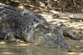 Large saltwater crocodile in kakadu national park australia Stock Image