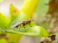 Large scavenger fly a close up view of a Stock Photo