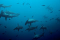 Large school of hammerhead sharks in the blue deep pacific ocean waters Royalty Free Stock Photo