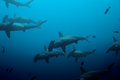 Large school of hammerhead sharks in the blue swimming deep waters ocean Stock Photo