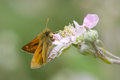 Large Skipper butterfly. Royalty Free Stock Photo