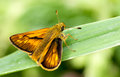 Large Skipper butterfly Royalty Free Stock Photo