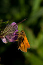Large skipper butterfly a perched in sunlight against a dark background Royalty Free Stock Photo