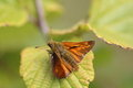 Large Skipper Moth Royalty Free Stock Photo