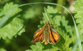A Large Skipper Ochlodes sylvanus perched on a plant. Royalty Free Stock Photo