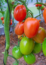 Large sky striker tomato red in greenhouse growing Stock Photos