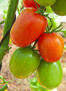 Large sky striker tomato red in greenhouse growing Royalty Free Stock Image
