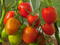 Large sky striker tomato red in greenhouse growing Royalty Free Stock Photography