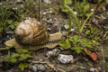Large snail Royalty Free Stock Photo
