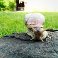 a large snail on a rock Royalty Free Stock Photo