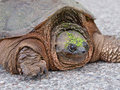 Large Snapping Turtle Stock Image