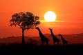 Large South African Giraffes at Sunset in Africa Royalty Free Stock Photo