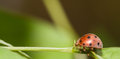 Large-spotted ladybird beetles Royalty Free Stock Photo
