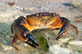 Large Stone crab Royalty Free Stock Image