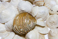 Large striated shell on background of white conical shells