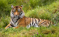 Large Striped Sumatran Tiger Relaxing in Grass Royalty Free Stock Photo