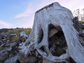Large stump among the driftwood  scattered on the ocean beach Royalty Free Stock Photo