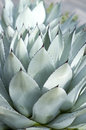 Large Succulent Leaves Stock Image