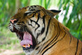Large sumatran tiger Royalty Free Stock Photography