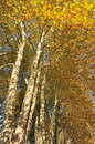 Large sycamore and beuatiful with their golden autumn leaves Royalty Free Stock Images