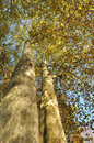 Large sycamore with their autumn golden leaves Royalty Free Stock Photography