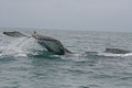 Large Tail Slap of a Humpback Whale Stock Photo