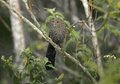 Large tailed antshrike mackenziaena leachii single bird on branch brazil Royalty Free Stock Images